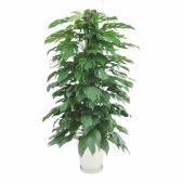 観葉植物 生木 オフィス マングーカズラ 陶器付き 高さ約1600mm Mサイズ お祝い 御祝札・メッセージカードサービスあり