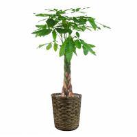 観葉植物 生木 オフィス パキラ 高さ約1000mm Sサイズ お祝い 御祝札・メッセージカードサービスあり