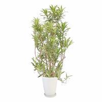 観葉植物 生木 樹木 ソング・オブ・インディオ 陶器付き 高さ約1800mm Lサイズ