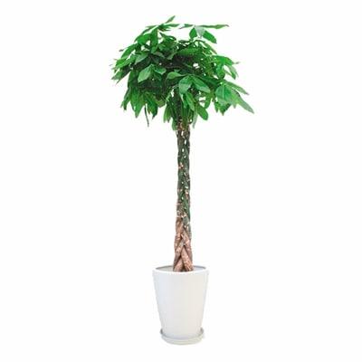 観葉植物 生木 オフィス パキラ 陶器付き 高さ約1700mm Mサイズ お祝い 御祝札・メッセージカードサービスあり