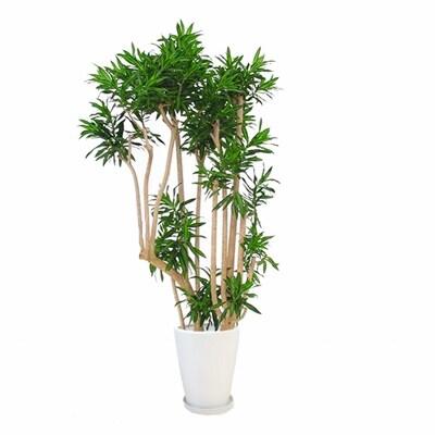 観葉植物 生木 オフィス ソング・オブ・ジャマイカ 陶器付き 高さ約1800mm Lサイズ お祝い 御祝札・メッセージカードサービスあり