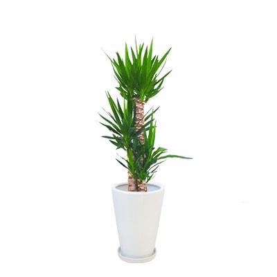 観葉植物 生木 オフィス ユッカ 陶器付き 高さ約1000mm Sサイズ お祝い 御祝札・メッセージカードサービスあり